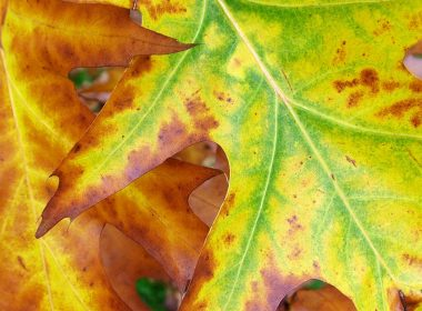 As leaves stop producing chlorophyll, they begin to change colour. (www.mooseyscountrygarden.com)