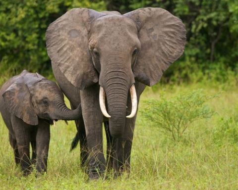The elephant population is in crisis, efforts to save them range from international policy to social media campaigns. (livescience.com)